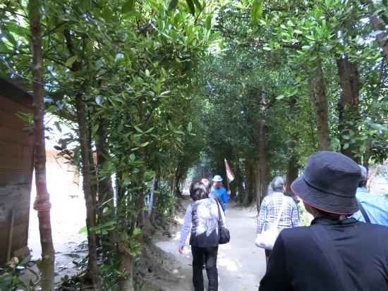 Bise Fukugi Tree Road : ガイドさんと散策