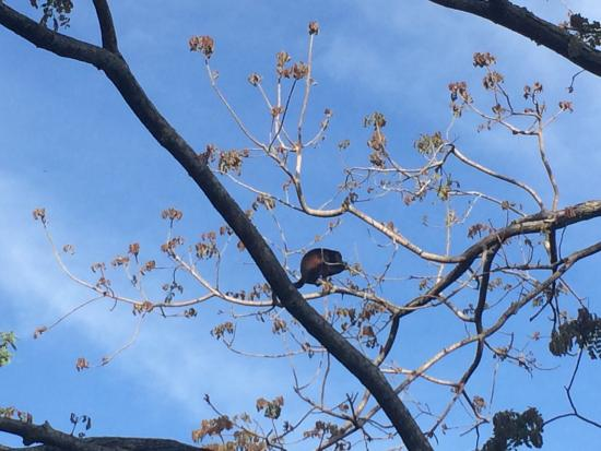Bahia Rica Adventures : Howler monkey outside the lodge (a troop of 12 or so were there) amazing!