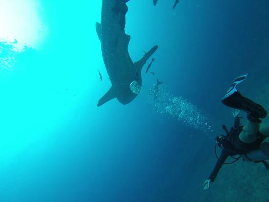 Phangan International Diving School: Shark whaleeeeeeeeee