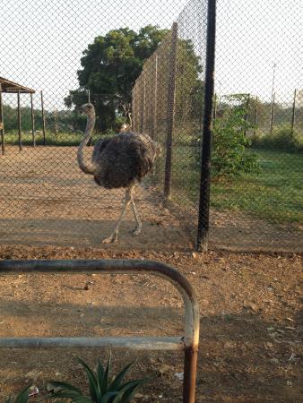 Haailand Resort: Birds Enclosures in the Resort- Ostrich