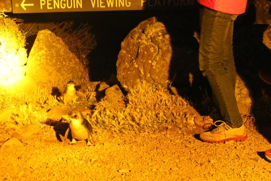 Low Head Penguin Tours: penguins up close and personal
