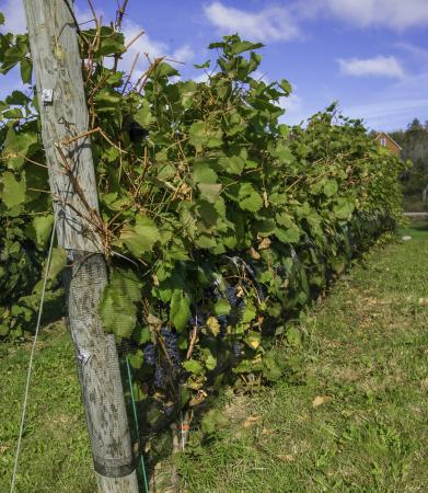 Magnetic Hill Winery and B&B: Grapes at winery