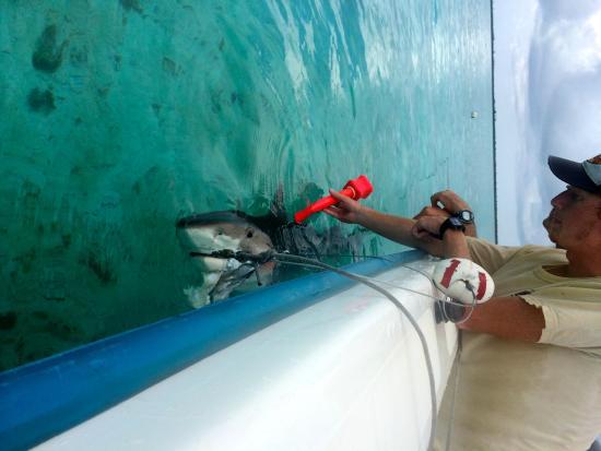Bimini: Tagging sharks