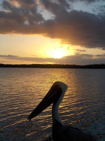 Chokoloskee Island Park and Marina: Pelican