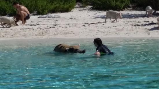 Breezy Hill Exuma Bahamas: The reason I came to Bahamas - To swim with the pigs