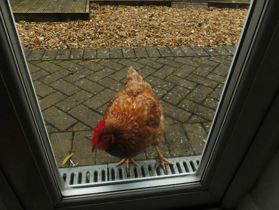 Antonia House Bed & Breakfast: you friendly morning alarm chicken