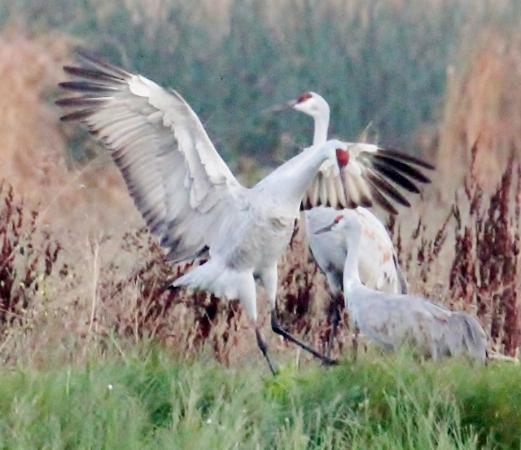 Cosumnes River Preserve: SAND HILL CRANE MATING DISPLAY
