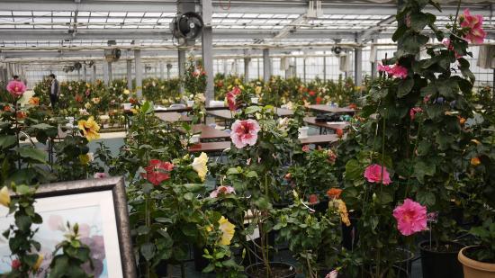 Iejima Hibiscus Garden