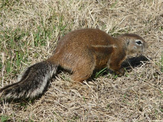 Mountain Zebra National Park: Ground Squirrel