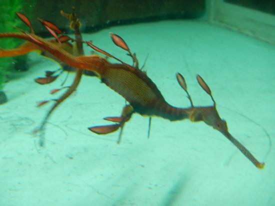 Seahorse World: Leafy Sea Dragon