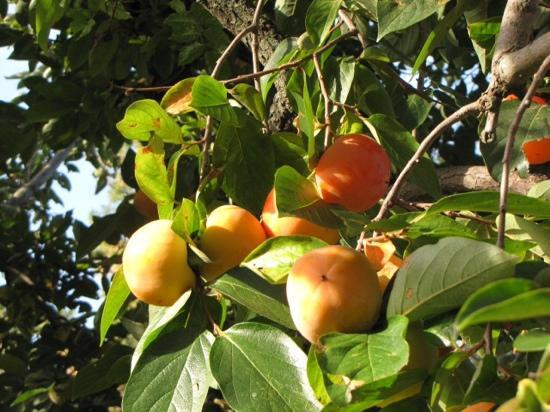 Mas Du Petit Grava: Persimmon tree