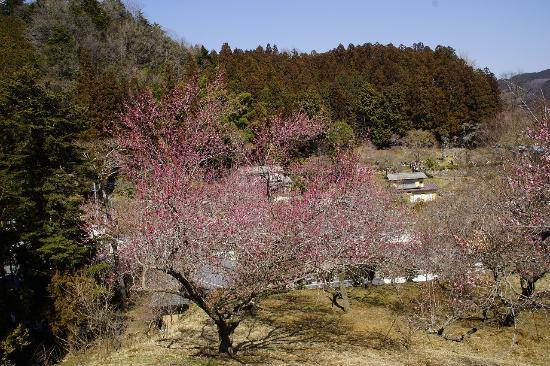 Yoshino Baigo Ume Blossom Matsuri: 陽当りの斜面によって開花時期がずれるので花見の時期は長いです