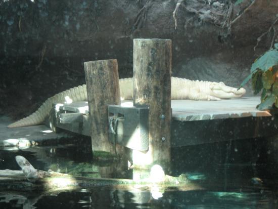 India House Hostel : Albino alligator