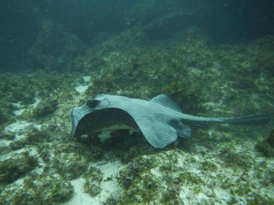 Red Mangrove Aventura Scuba Diving: Eagle ray