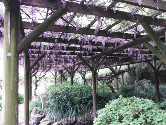 Tenshaen Garden: 天赦園(藤棚)
