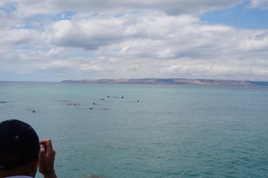 Kangaroo Island Ocean Safari: 一大波海豚