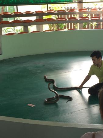 Phuket Cobra Show and Snake Farm: Готовится поцеловать королевскую кобру