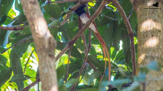 Atithi Parinay Homestay : Asian Paradise Flycatcher (in Atithy Parinay Campus)