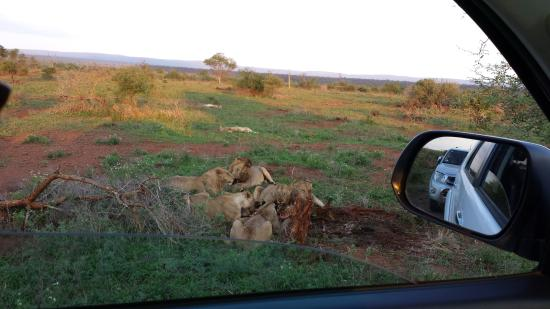 Buhala Lodge : Meetings with lions captured with the mobile