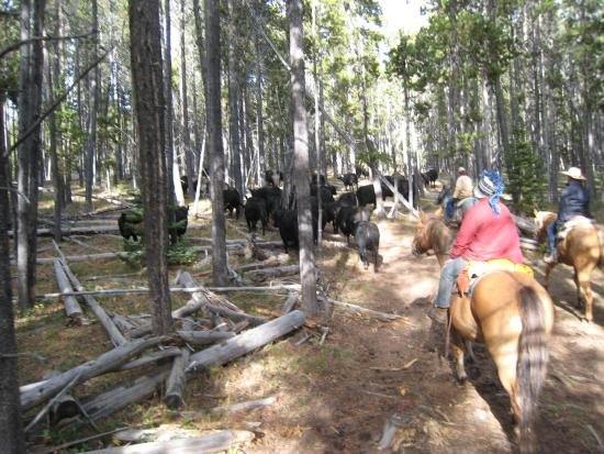 Bridger, MT: Cows in woods