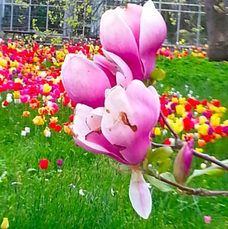 Botanical Gardens (Botaniska Tradgarden): I bakgrunden mängder med tulpaner