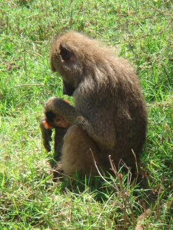 Warrior Trails Day Tour: mom and baby baboon in Lake Manyara