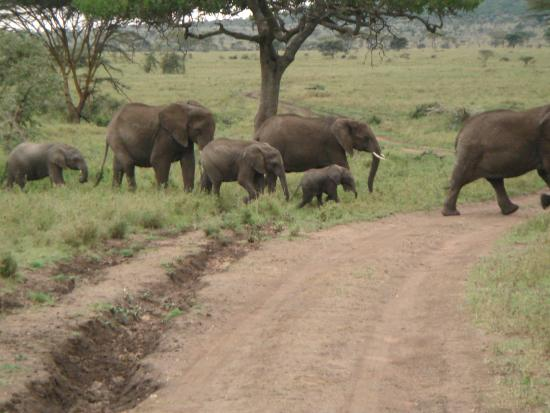Warrior Trails Day Tour: Elephants in Serengeti led by matriarch