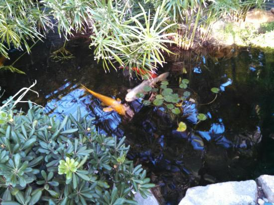 Koi fish in pond picture of self realization fellowship for 99 5 the fish