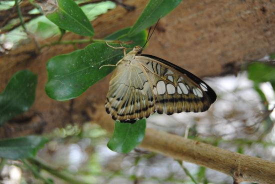 Butterflies for Africa: Resting Butterfly
