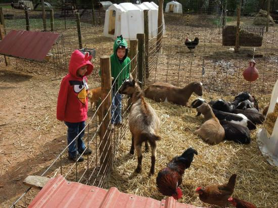 Split Creek Farm: Pregnant Goats and Obnoxious Chickens
