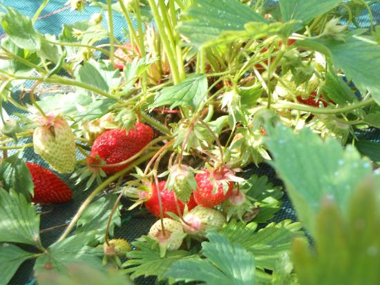 Auberge de la Tuilerie : The strawberry patch