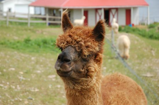 Alpacas of Newfoundland