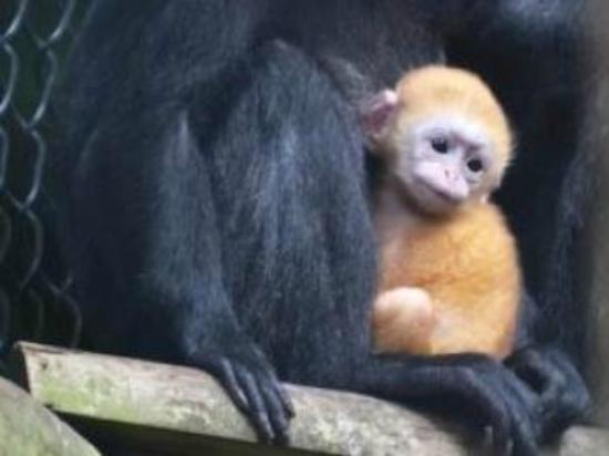 Giraffe Lodge: Javan Langur monkey