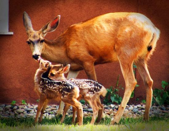 Francisco Fort Museum: fawns born under the wagons 2014