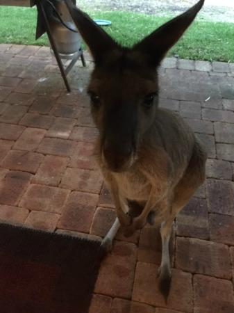 "Yelverton Brook Eco Spa Retreat & Conservation Sanctuary: ""Kangaroos are back again, honey!"""