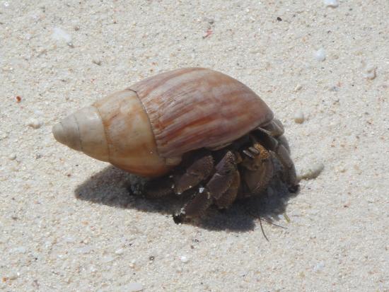 Cap Jean Marie Beach Villas : Hermit crab