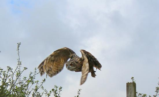 Screech Owl Sanctuary: JOE our European Eagle Owl taking part in our flying display.