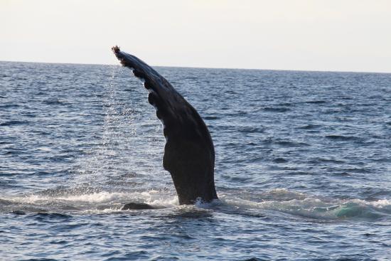 Dana Point, CA: momma humpback slapping water