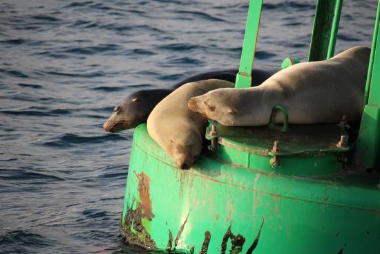 Dana Point, CA: stinky seals