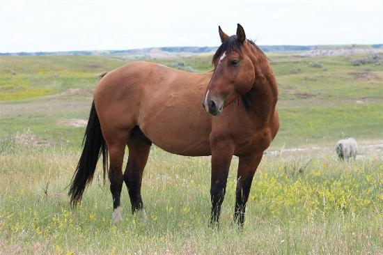 Medora, ND: Band stallion Copper