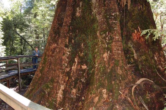 Noojee, Australia: Ada tree 1