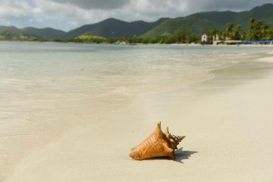 Quartier D'Orleans, St-Martin/St Maarten : Live Queen Conch We Caught and Release after Photoshoot
