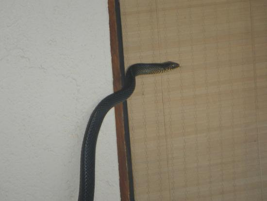 Saman Villas: Snake in our Grand Deluxe Suite with Swimming pool