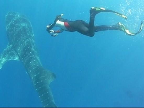 Deep Blue Resort Utila : whaleshark