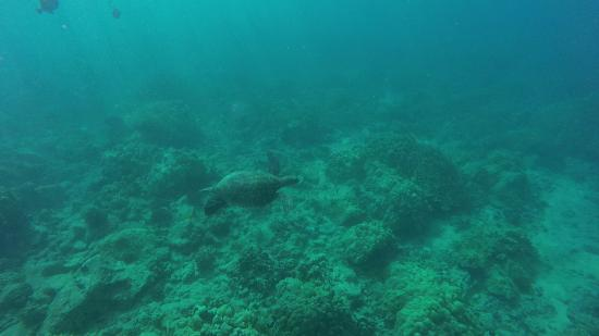 Ahihi-Kinau Natural Area Reserve: Sea turtle swimming away