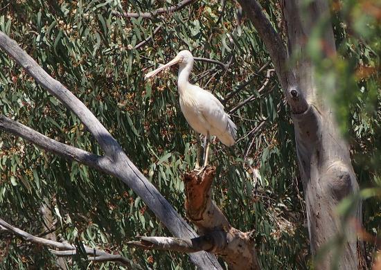 Melbourne Birding Tours: Yellow billed spoonbill