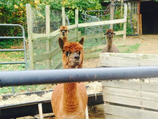 Bella Alpacas Farm: Excuse the hay in her eyes. A girls gotta eat.