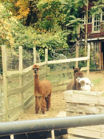 Bella Alpacas Farm: The Ladies