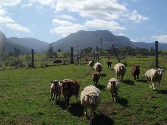 Cedar Glen Farmstay: Sheep feeding