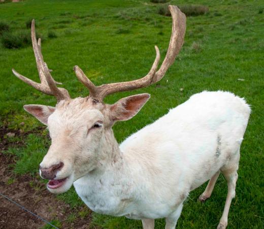 white fallow deer picture of mansfield zoo mansfield tripadvisor